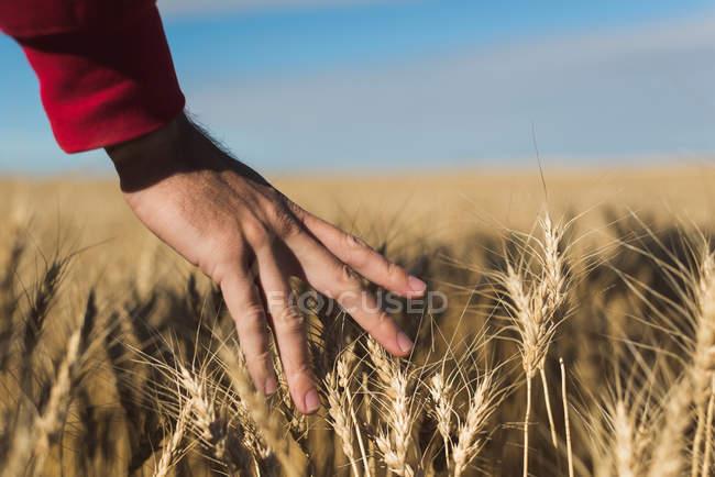 Gros plan de la femme qui touche une culture de blé dans un champ — Photo de stock