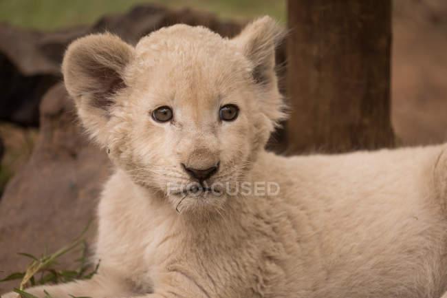 Close-up de filhote de leão relaxante no parque de safári — Fotografia de Stock