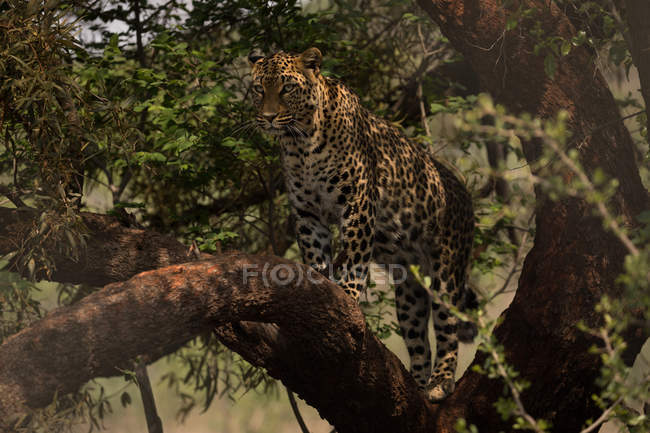 Leopard walking on branch at safari park — Stock Photo