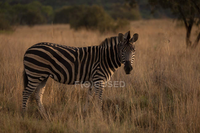 Zebra standing in the Savannah at safari park — Stock Photo