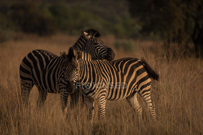 Two zebras at safari park on a sunny day — Stock Photo