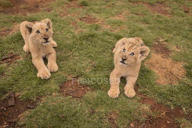 Filhotes de leão relaxando na grama no parque de safári — Fotografia de Stock