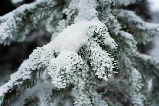 Close-up de pinho deixa coberto de neve durante o inverno — Fotografia de Stock