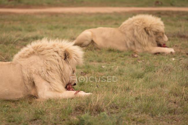Leoni che mangiano carne al safari park — Foto stock