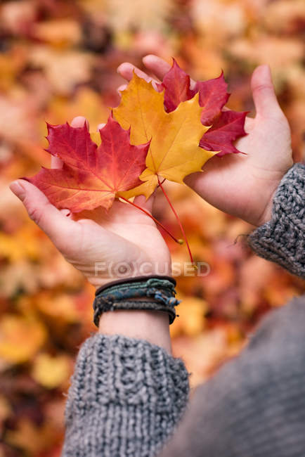 Close-up of womans hands holding maple leaves during autumn — Stock Photo