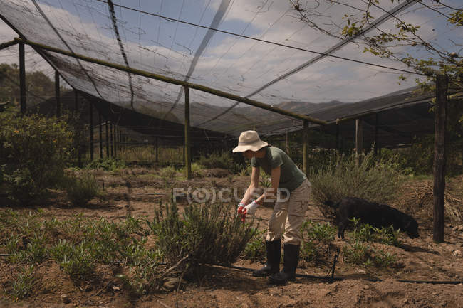 Farmer trimming plant in greenhouse on a sunny day — Stock Photo