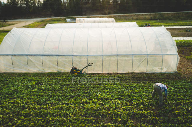 Farmer plucking fresh plants grown in a farm on a sunny day — Stock Photo
