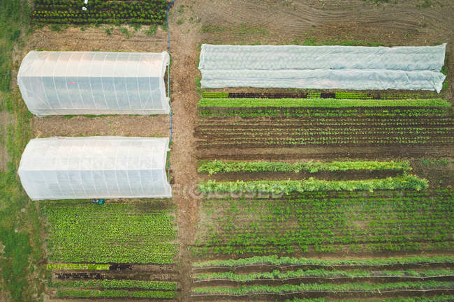 Plants cultivated under plastic covered greenhouse on a field on a sunny day — Stock Photo
