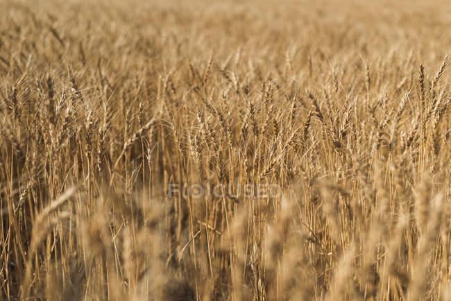 Frische Ernte des Weizens im Weizenfeld an einem sonnigen Tag — Stockfoto