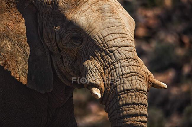 Крупный план слона, показывающего свой бивень в солнечный день — стоковое фото