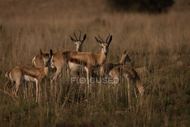 Herd of antelopes grazing on the Savannah on a sunny day — Stock Photo