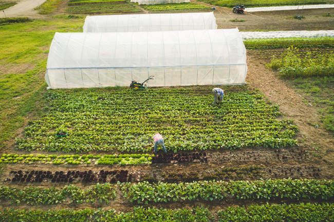 Agricultor depena vegetais frescos cultivados em uma fazenda em um dia ensolarado — Fotografia de Stock