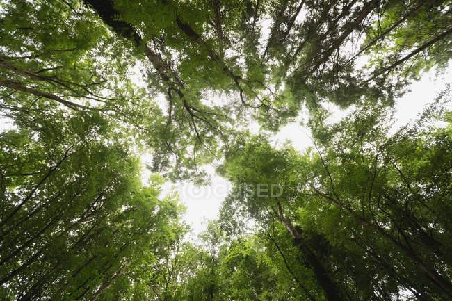Vista de baixo anjo de árvores tropicais em floresta — Fotografia de Stock