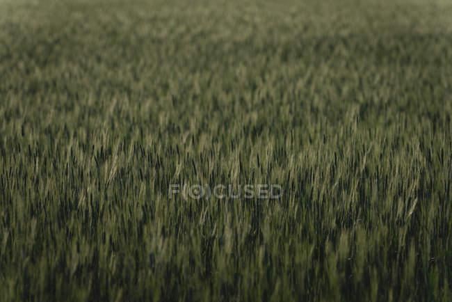Зеленому полі в сільській місцевості — стокове фото