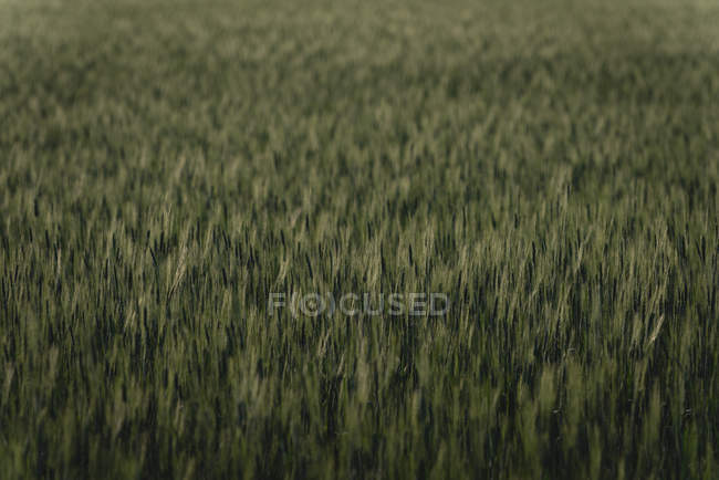 Campo verde, na zona rural — Fotografia de Stock