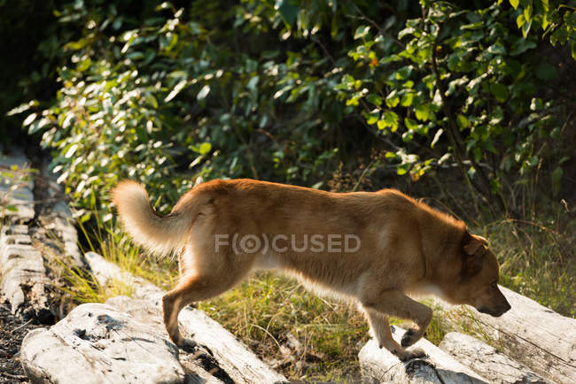 Dog walking on a rock at countryside — Stock Photo