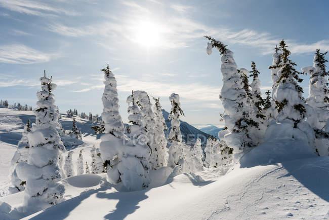Arbres couverts de neige en hiver — Photo de stock