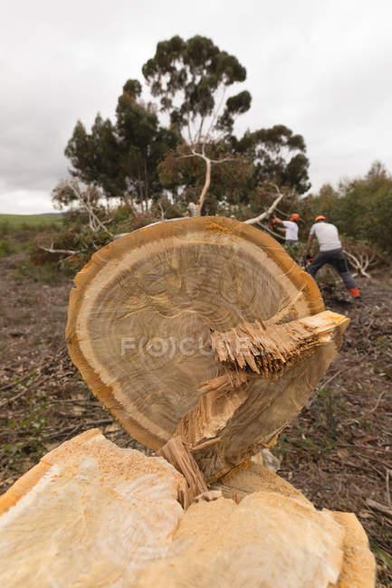 Закрыть ствол спиленного дерева в лесу на даче — стоковое фото