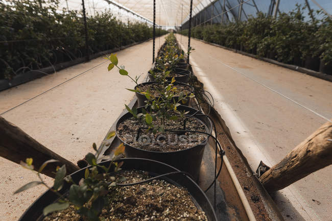Interior view of modern blueberry farm — Stock Photo