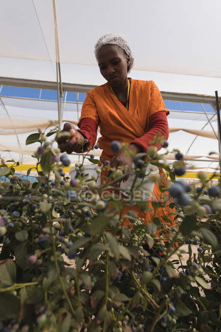 Vista de ángulo bajo del trabajador recogiendo arándanos en granja de arándano - foto de stock