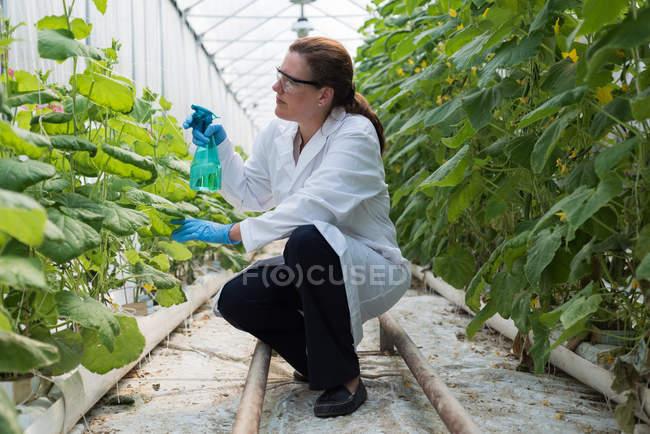 Scientifique femelle arrosant des plantes en serre — Photo de stock