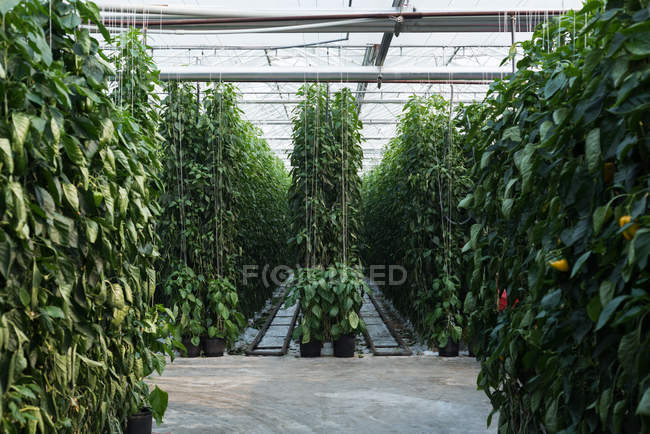 Rows of hanging plantation in greenhouse interior — Stock Photo