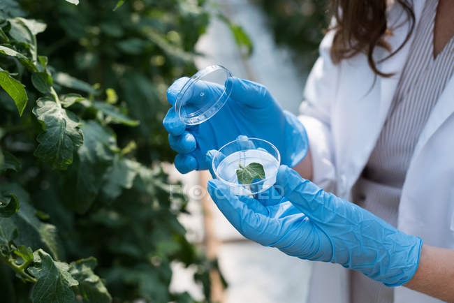 Close-up of scientist holding specimen of leaf in greenhouse — Stock Photo