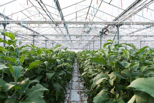 Green crops plantation in greenhouse interior — Stock Photo