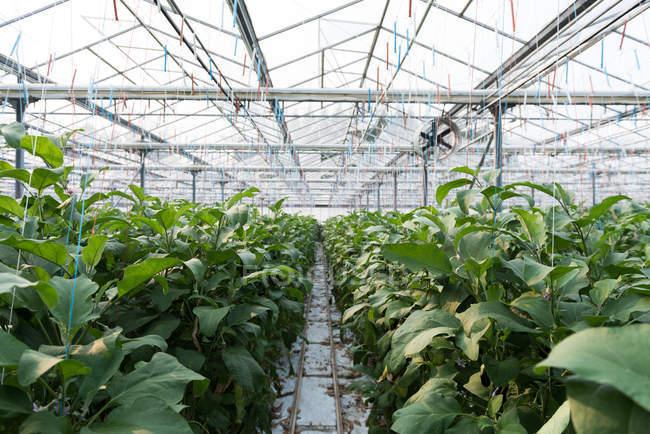 Green crops plantation in greenhouse interior — Stock Photo
