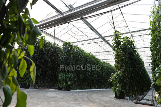 Rows of green plantation in greenhouse interior — Stock Photo
