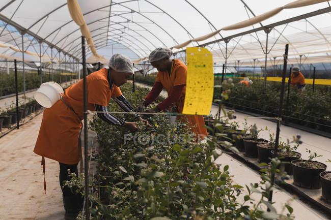 Вид збоку працівників, що працюють в Чорниця ферма — стокове фото
