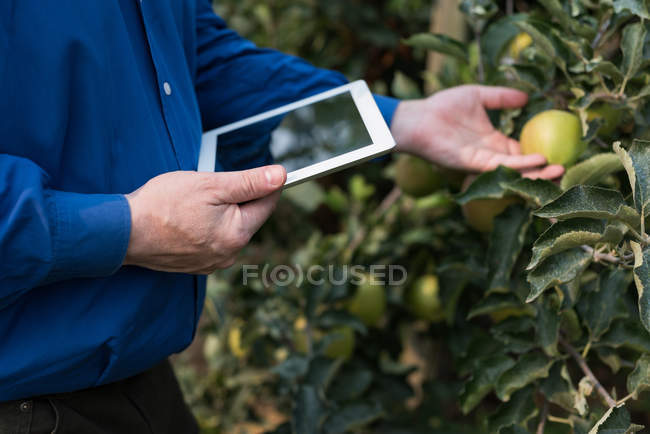Mid section of man with digital tablet touching fruits in greenhouse — Stock Photo