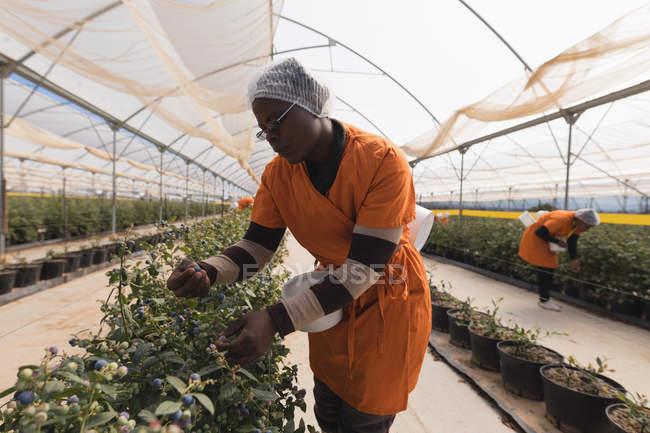 Жіночий працівник збір чорниці, чорничний фермі — стокове фото