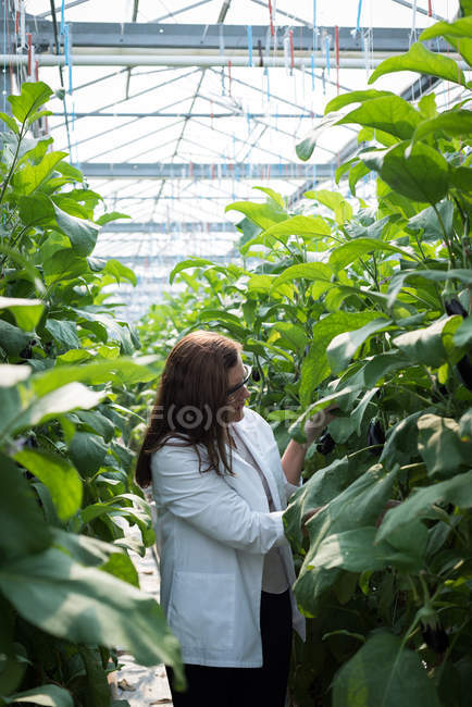 Female scientist examining plants in sunny greenhouse — Stock Photo