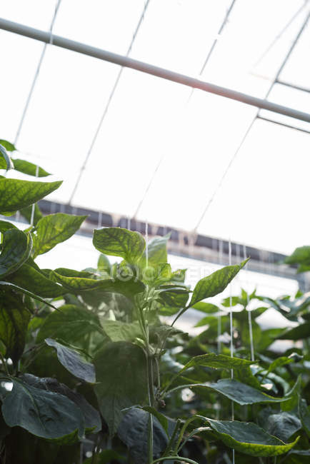 Close-up of plants hanging in greenhouse interior — Stock Photo