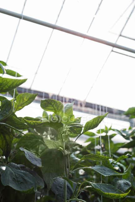Крупный план растений, висящих в интерьере теплицы — стоковое фото