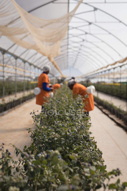 Blueberry bushes in modern blueberry farm — Stock Photo