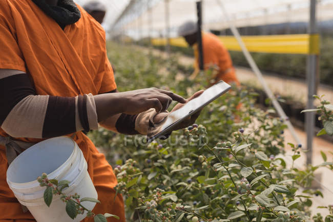 Розділ середині працівник, використовуючи цифровий планшетний в Чорниця ферма — стокове фото