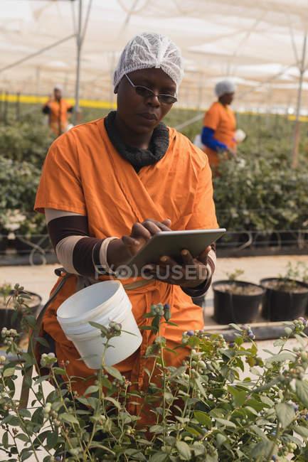 Працівник, використовуючи цифровий планшетний в Чорниця ферма — стокове фото