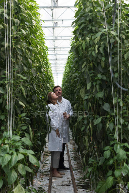 Two scientists examining plants in agricultural greenhouse interior — Stock Photo