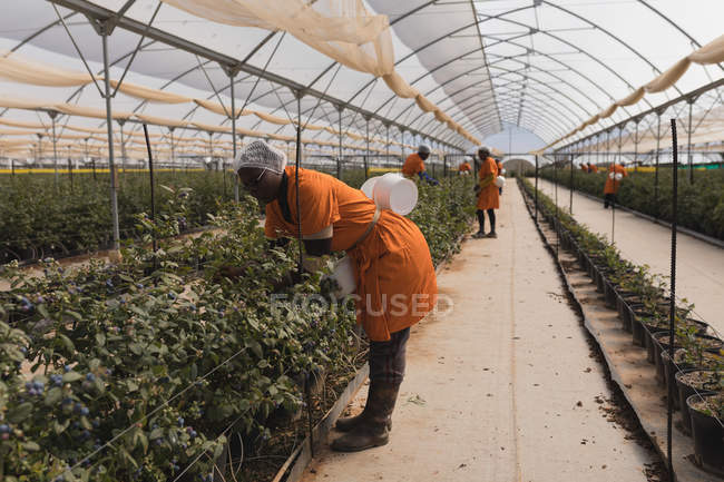 Вид збоку працівник працює в Чорниця ферма — стокове фото