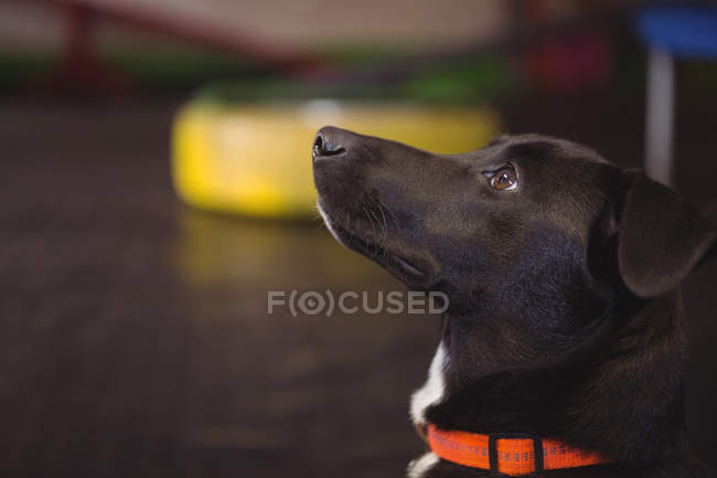 Close-up of black beagle dog looking up at dog care center — Stock Photo