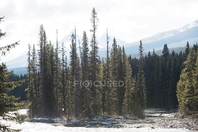 Величественный вид красивых сосновых деревьев в лесу — стоковое фото