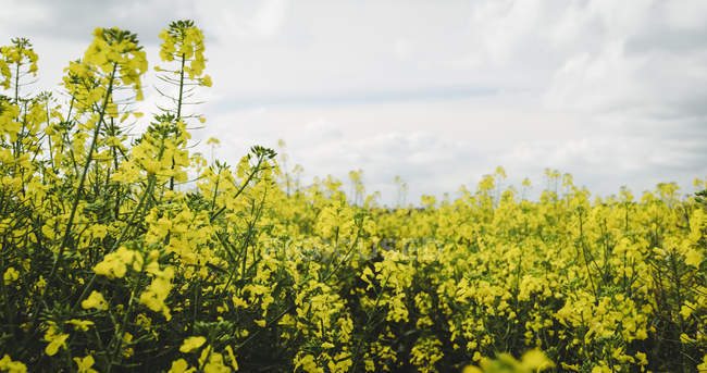 View of mustard field on a sunny day — Stock Photo