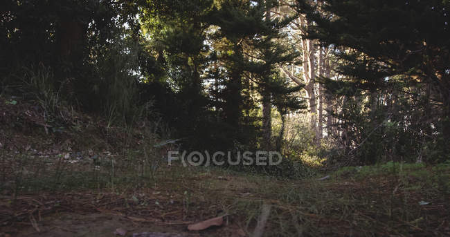 Sunlight through trees in the forest — Stock Photo