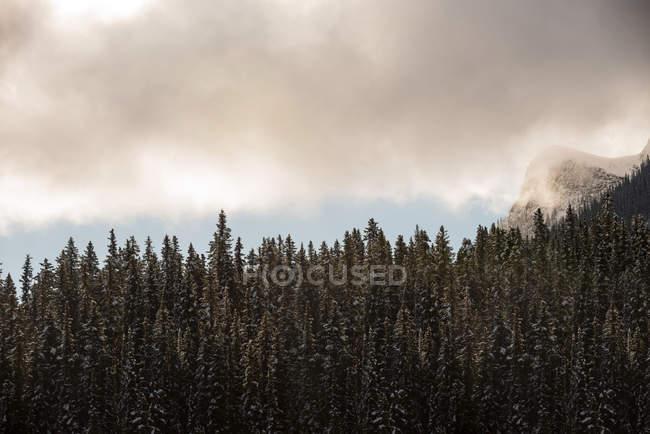 Vue majestueuse de pins dans la forêt dense sempervirente — Photo de stock
