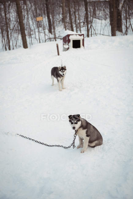 Giovani cani Siberian in attesa sulla neve — Foto stock