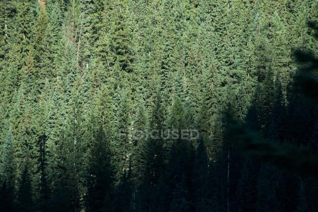 Спокойный вид сосновых деревьев в густом лесу — стоковое фото