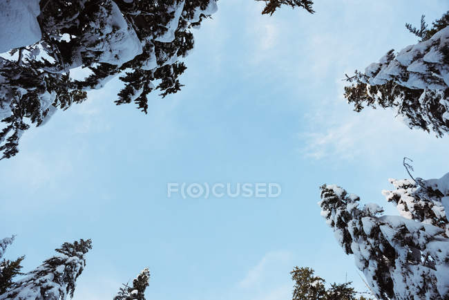 Low angle view of snow covered pine trees against blue sky — Stock Photo