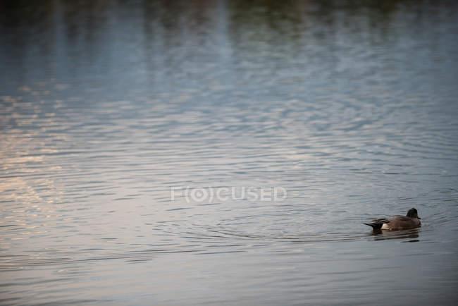 Vue panoramique de l'oie sauvage nageant dans l'eau du lac — Photo de stock